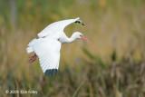 Ibis, White (adult) @ Everglades