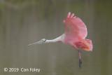 Spoonbill, Roseate @ Everglades, Eco Pond