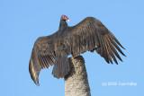 Vulture, Turkey @ Everglades, Guy Bradley Trail