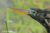 Anhinga (male) @ Everglades, Royal Palm
