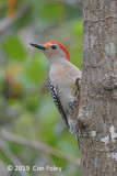 Woodpecker, Red-bellied (male) @ Everglades