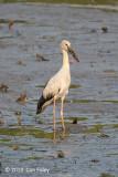 Stork, Asian Openbill @ SBWR