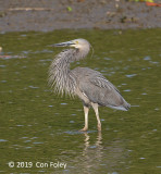 Heron, Great-billed @ SBWR