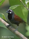 Babbler, Black-throated
