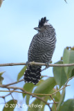Antshrike, Barred (male)