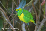 Chlorophonis, Golden-browed (male)