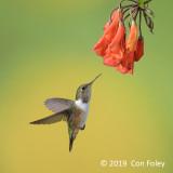 Hummingbird, Volcano (fem)