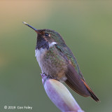 Hummingbird, Volcano (male)
