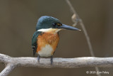Kingfisher, American Pygmy (male)