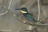 Kingfisher, Green-and-rufous (female)
