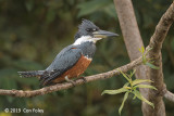 Kingfisher, Ringed (female)