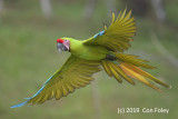Macaw, Great Green