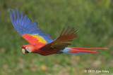 Macaw, Scarlet