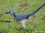 Magpie-Jay, White-throated