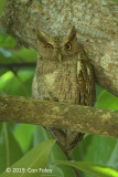 Owl, Pacific Screech-