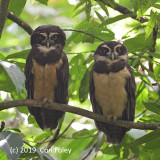 Owl, Spectacled (pair)