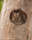 Owl, Tropical Screech-