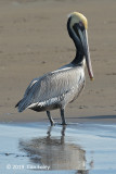 Pelican, Brown (breeding)