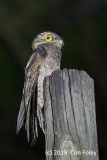 Potoo, Common