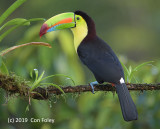 Toucan, Keel-billed