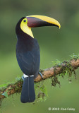 Toucan, Yellow-throated