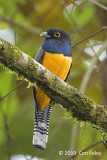 Trogon, Gartered (male)
