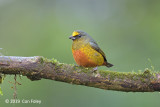 Euphonia, Olive-backed (male)