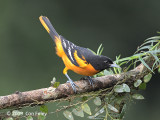 Oriole, Baltimore (male)