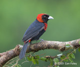 Tanager, Crimson-collared