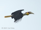 Hornbill, Wreathed