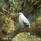 Hawk, White