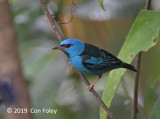 Dacnis, Blue (male)