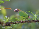 Parrot, Brown-hooded