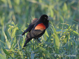 Blackbird, Red-winged (male)