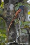 Flycatcher, Blyth's Paradise