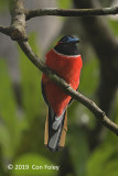Trogon, Red-naped