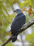 Kite, Gray-headed