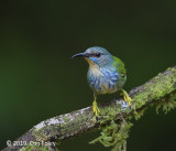 Honeycreeper, Shining