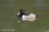 Duck, Ring-necked (male)
