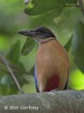 Pitta, Mangrove