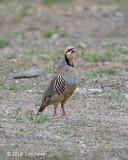 Partridge, Chukar
