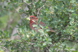 Rosefinch, Common (male)