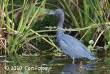 Heron, Little Blue @ Everglades