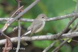 Flycatcher, Taiga
