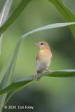 Weaver, Golden-backed