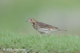 Pipit, Red-throated
