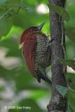 Woodpecker, Banded