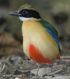 Pitta, Blue-winged