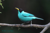 Honeycreeper, Green
