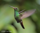 Hummingbird, Rufous-tailed